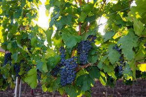 Węgry – Winnice w okolicach Egeru